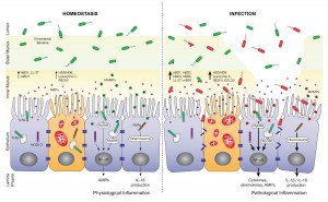 Antimicrobial peptides (AMPs), including defensins and cathelicidins, constitute an arsenal of innate regulators of paramount importance in the gut.